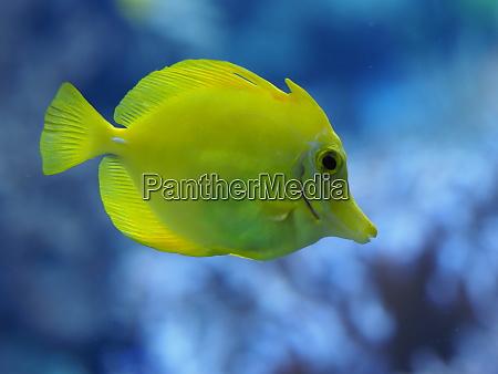 yellow sailing fins doctor fish