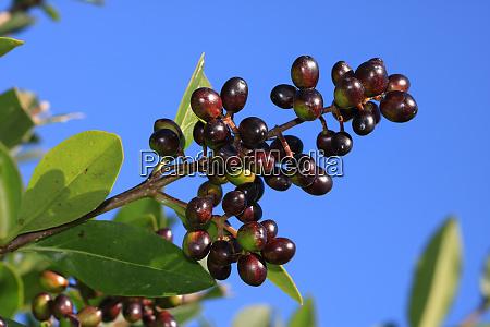 privet glossy black berries
