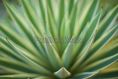 extreme close up green aloe vera