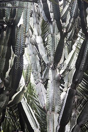 column cactus fuerteventura spain