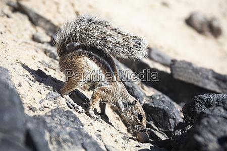 barbary ground squirrel fuerteventura spain
