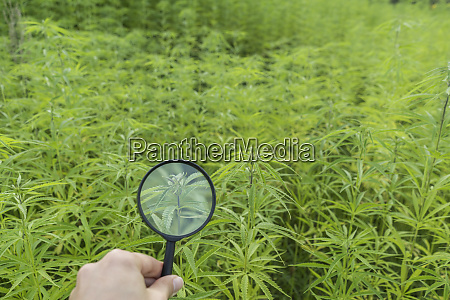 hand holding magnifying glass in hemp