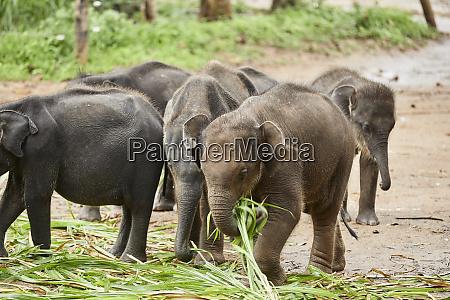 eating elephant babies udawalawa sri lanka