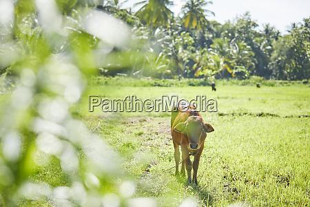 calf standing on a field sri