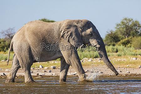 namibia etosha national park african elephant