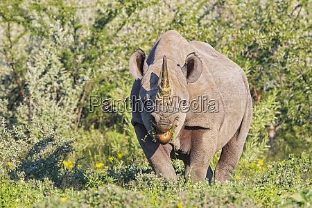 namibia etosha national park eating african