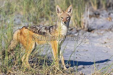 namibia etosha national park black backed