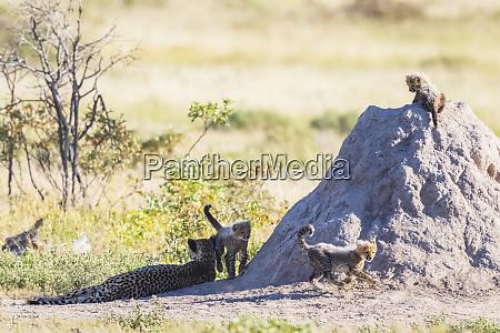 namibia etosha national park cheetah with