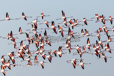 namibia etosha national park greater flamingo