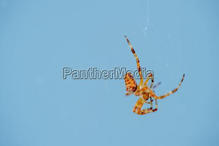 cross spider araneus abdomen blue background