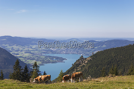 cows grazing on schafberg against blue