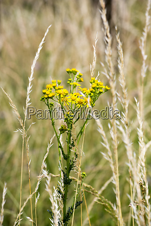ragwort senecio jacobaea toxic plant