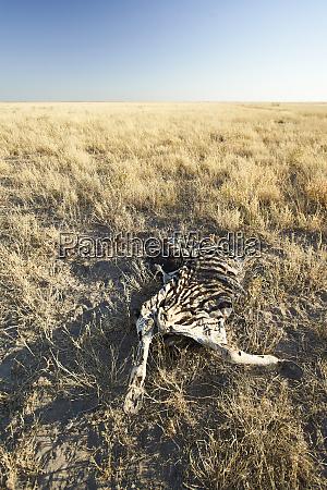 zebra remains makgadikgadi pans botswana