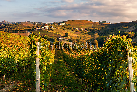 autumnal vineyards in a row on