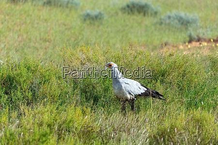 secretary bird kalahari transfrontier park south