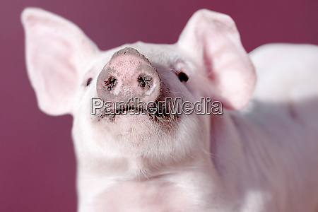 snout of pig