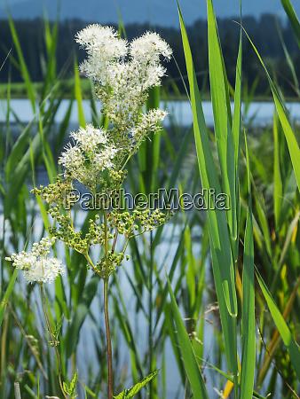 meadowsweet plant between reed