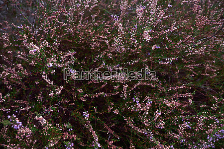 flowering purple heather texture from above