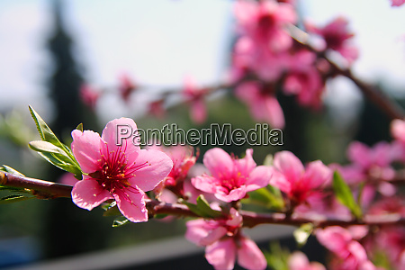 pink peach flowers announcing the spring