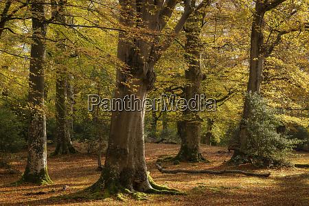 mature beech woodland during autumn new