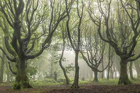 deciduous trees on a foggy morning