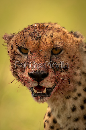close up of bloody cheetah head