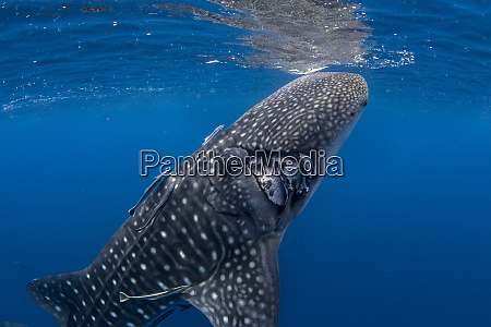 whale shark rhincodon typus with boat
