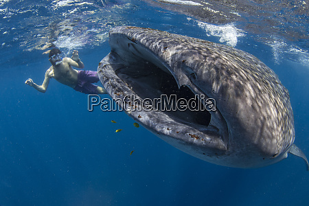 snorkeller with a juvenile whale shark