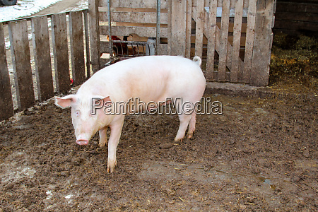 pigs in natural pose on a