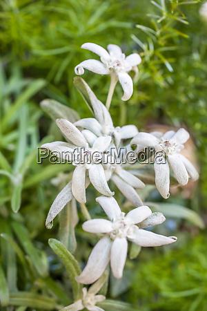 alpine edelweiss