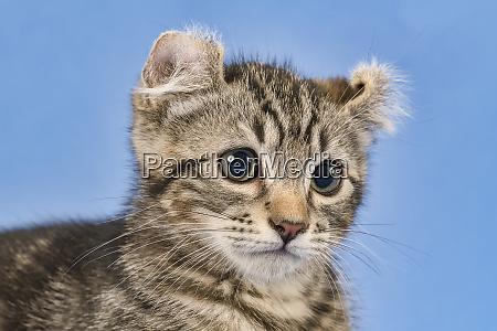 cat american curl 2019 18157bs