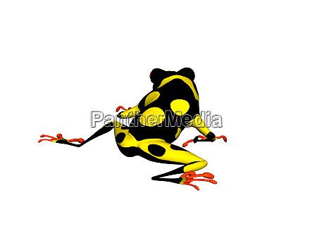 black yellow poison dart frog on
