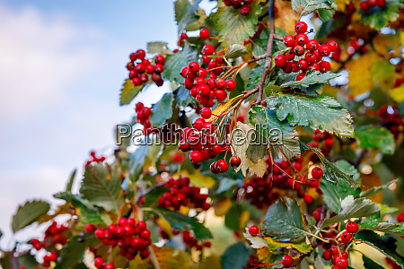 ripe hawthorn on a background of