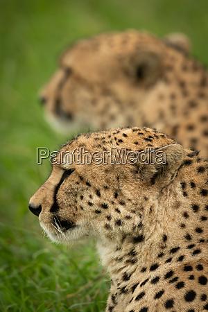 close up of cheetah sitting near