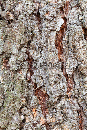 uneven bark on mature trunk of
