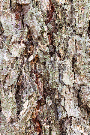 grooved bark on mature trunk of