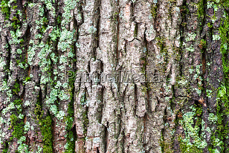 mossy and cracked bark on old