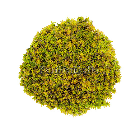 green moss isolated top view silvergreen