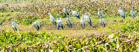indian black ibis species of water