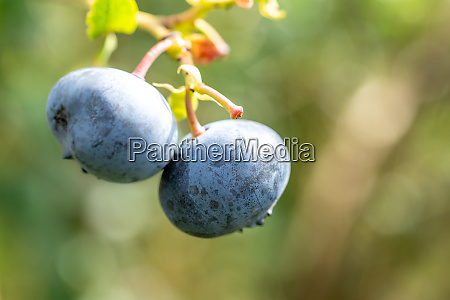 blueberries nutritious power