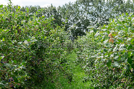 collecting blueberries