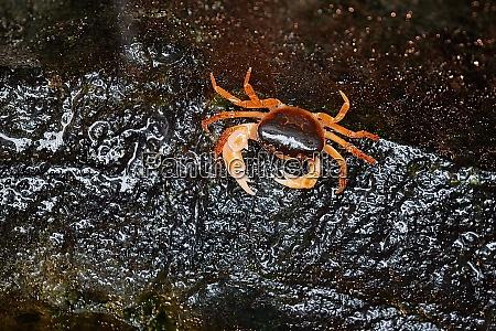 japanese freshwater crab