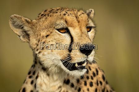 close up of head of cheetah