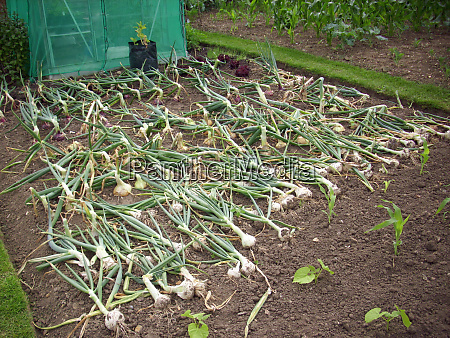 onions drying on an allotment
