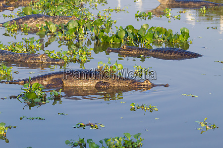caiman floating on pantanal brazil