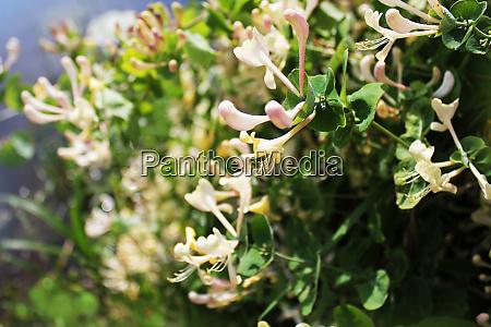 iberis amara flower also called rocket