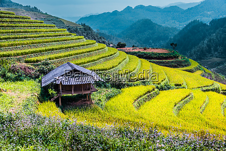 landscape view of rice fields in