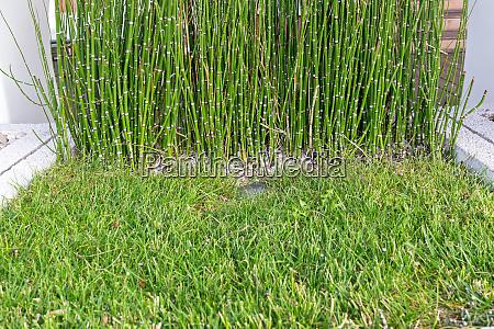 reed bamboo