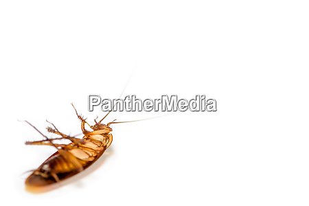 close up cockroach dead on white