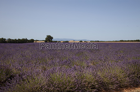 lavender fields in provence south of
